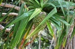 A pandanus tree with ripening fruit at Enemanet Island in Majuro lagoon.